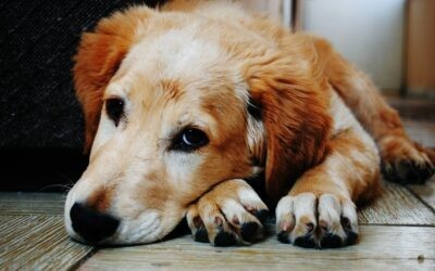 Canine stem cell research